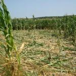 agricoltura danni cinghiali