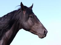 dipingere il muso del cavallo