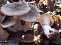 funghi-ordinale-grigio