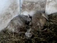 pecore_pianporcino