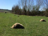 strage pecore lupi