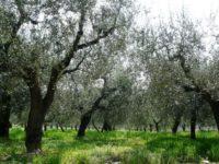 oliveta-1