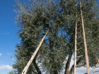 raccolta olive amiata