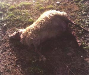 attacco pecore castiglione orcia 1
