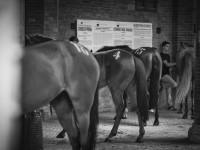 cavalli entrone tratta bianco e nero