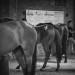 Cavalli con esperienza per la previsita dello straordinario