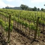vigne brunello_640x480